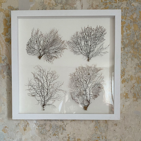 Set of 4 Seafans in White wooden frame
