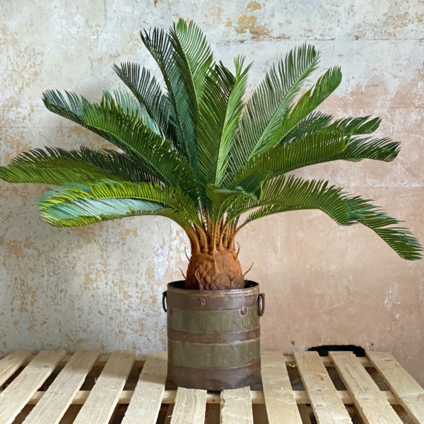 Large Cycas Potted Plant